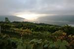 morning_grapes_3704