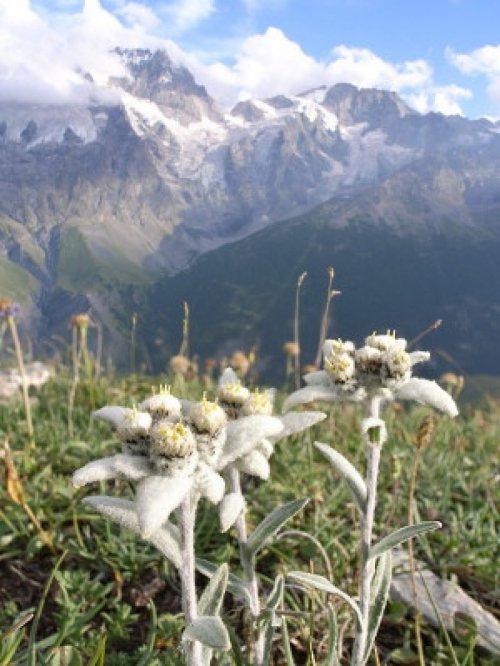 Картинки цветок эдельвейс 3